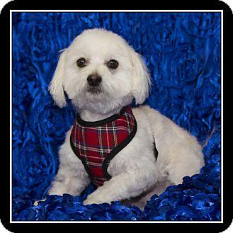 Maltese Mix Dog for adoption in San Diego, California - Kolby