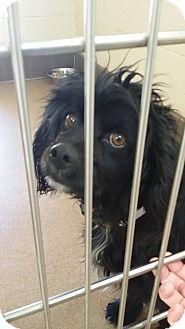 Spaniel (Unknown Type) Mix Dog for adoption in Las Vegas, Nevada - Candie