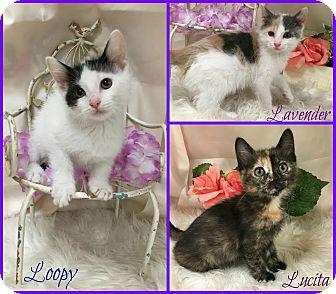 Domestic Shorthair Kitten for adoption in Joliet, Illinois - Lavender