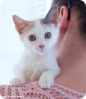 Domestic Shorthair Kitten for adoption in Chattanooga, Tennessee - Cassie