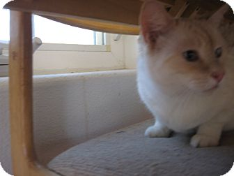 Domestic Shorthair Cat for adoption in Fallon, Nevada - Franklin