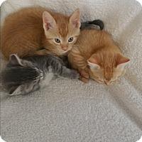 Adopt A Pet :: Sabastian - Chippewa Falls, WI