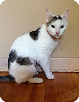 Domestic Shorthair Cat for adoption in Vancouver, British Columbia - Maka