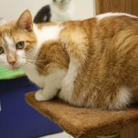 Domestic Shorthair/Domestic Shorthair Mix Cat for adoption in Menominee, Michigan - Harley