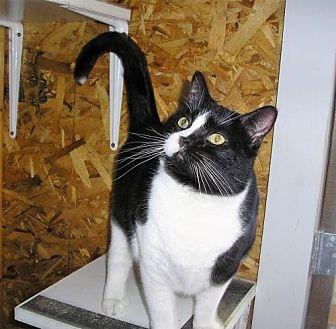 Domestic Shorthair Cat for adoption in Eldora, Iowa - Bristol