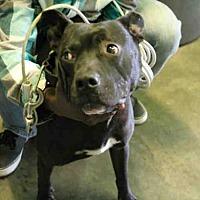 Adopt A Pet :: SCOOBY - Los Angeles, CA