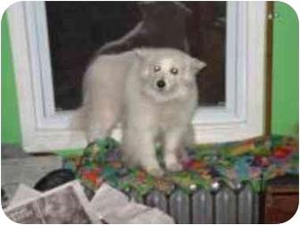 American Eskimo Dog Dog for adoption in Chicago, Illinois - Camilla