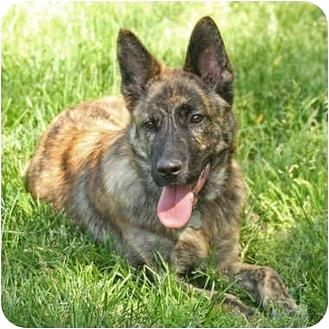 Australian Cattle Dog/Belgian Shepherd Mix Puppy for adoption in Santa Rosa, California - Travis (SIAR foster)