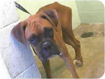 Boxer Mix Dog for adoption in Davis, California - Graham