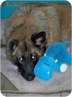 German Shepherd Dog Mix Dog for adoption in Rochester/Buffalo, New York - Yukon