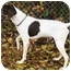 Photo 3 - German Shorthaired Pointer Dog for adoption in Kokomo, Indiana - mack