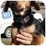 Photo 1 - Beagle/Dachshund Mix Dog for adoption in Arkadelphia, Arkansas - Bear