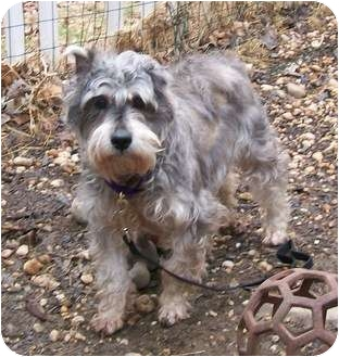 Schnauzer (Miniature) Dog for adoption in Oak Ridge, New Jersey - Jane-Puppymill