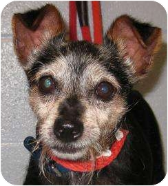 Terrier (Unknown Type, Small) Mix Dog for adoption in Munster, Indiana - George