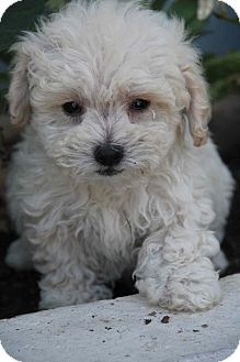 Poodle (Miniature)/Maltese Mix Puppy for adoption in Yuba City, California - Boulder Creek