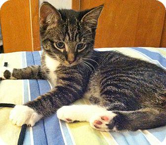 Domestic Shorthair Kitten for adoption in Mt. Prospect, Illinois - Corey