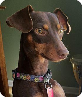 Miniature Pinscher Puppy for adoption in Nashville, Tennessee - Oscar