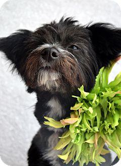 Poodle (Miniature)/Yorkie, Yorkshire Terrier Mix Dog for adoption in Bridgeton, Missouri - Sissy