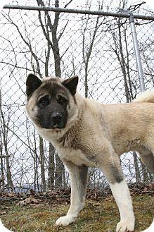 Akita Dog for adoption in Broadway, New Jersey - Kota