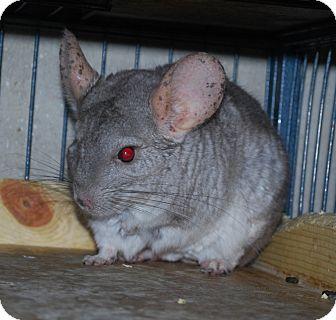 Chinchilla for adoption in Hammond, Indiana - Chili