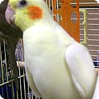 Adopt A Pet :: Pearl - Lenexa, KS