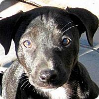 Adopt A Pet :: Baby Dora - Oakley, CA