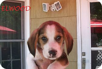 Beagle Mix Puppy for adoption in Ventnor City, New Jersey - ELWOOD