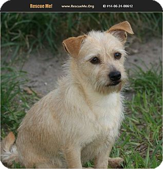 Norwich Terrier/Shih Tzu Mix Dog for adoption in Fort Myers, Florida - Popi