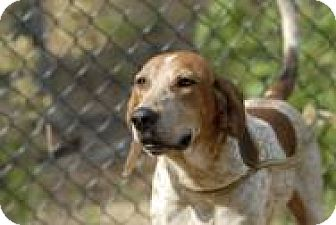 English (Redtick) Coonhound/Coonhound Mix Dog for adoption in Lexington, Massachusetts - Marcus