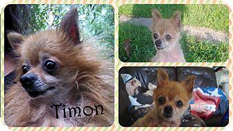 Pomeranian Dog for adoption in DOVER, Ohio - Timon