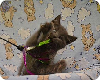 Domestic Mediumhair Kitten for adoption in Fort Riley, Kansas - Kevin