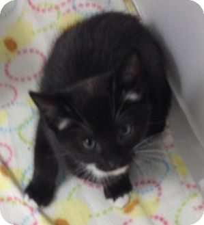 Domestic Shorthair Kitten for adoption in Fountain Hills, Arizona - HETTY
