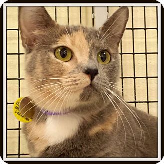 Domestic Shorthair Cat for adoption in Glendale, Arizona - Cita