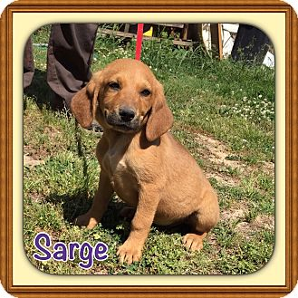 Labrador Retriever/Hound (Unknown Type) Mix Puppy for adoption in Plainfield, Connecticut - Sarge (POM-CD)