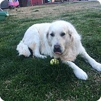 Adopt A Pet :: Lacey - Yorktown, VA