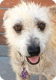 Terrier (Unknown Type, Medium) Mix Dog for adoption in Los Angeles, California - RITA (video)