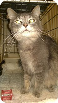Domestic Longhair Cat for adoption in Troy, Ohio - Morrison