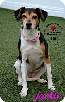 Jack Russell Terrier Mix Dog for adoption in Youngwood, Pennsylvania - Jackie