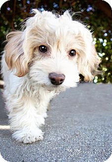 Maltese/Poodle (Miniature) Mix Puppy for adoption in Pasadena, California - Cheesecake** Video**