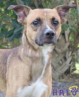 Shepherd (Unknown Type) Dog for adoption in Sebastian, Florida - Earl
