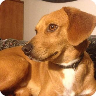 Beagle/Labrador Retriever Mix Puppy for adoption in Coeburn, Virginia - Bucky