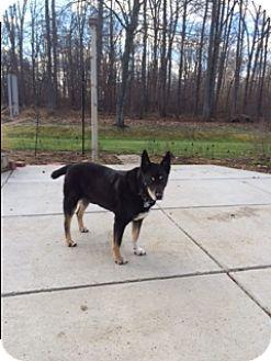 Doberman Pinscher/Boxer Mix Dog for adoption in Ypsilanti, Michigan - Jack