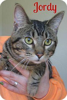 Domestic Shorthair Cat for adoption in Menomonie, Wisconsin - Jordy