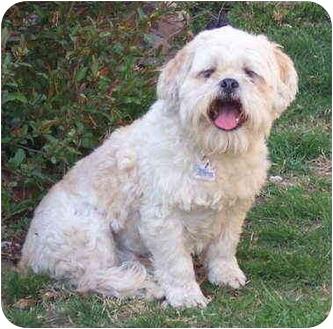 Lhasa Apso Mix Dog for adoption in Bloomsburg, Pennsylvania - Bingo