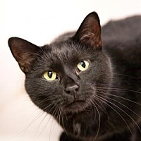 Domestic Shorthair Cat for adoption in Stafford, Virginia - Turtle