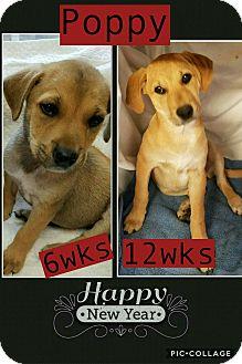 Labrador Retriever Mix Puppy for adoption in East Hartford, Connecticut - Poppy-pending adoption