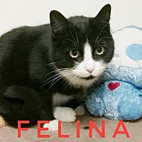 Domestic Shorthair Cat for adoption in Kendallville, Indiana - Felina