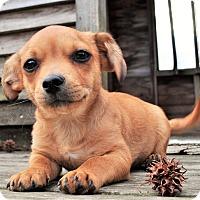 Adopt A Pet :: *Ducky - PENDING - Westport, CT