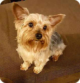 Yorkie, Yorkshire Terrier Dog for adoption in Ashland City, Tennessee - Sampson