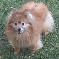 Adopt A Pet :: Sable Mae - Dallas, TX